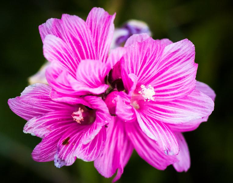 Checkerbloom -- Sidalcea malviflora