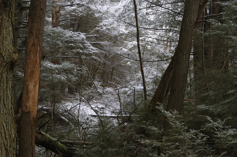 Hemlocks in light snow