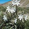 Desert Lily -- Hesperocallis undulata,  Anza Borrego State Park, southern CA