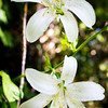 Washington Lily -- Lilium washingtonianum