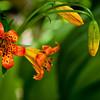 Lilium parvum -- Alpine Lily