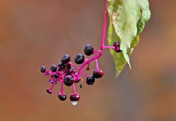 "<div class=""jaDesc""> <h4> Pokeberries - October 2010 </h4> </div>"