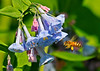 """<div class=""""jaDesc""""> <h4> Bee Collecting Pollen at Virginia Bluebells  - May 14, 2014 </h4> <p>These Virginia Bluebells are a bit past their prime, but the Honey Bee is still getting pollen from them.  Photo taken at Bement-Billings Farmstead in Newark Valley.</p> </div>"""