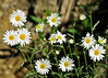 """<div class=""""jaDesc""""> <h4>Wild Daisies - June 4, 2014 </h4> <p>There are lots of cheerful wild daisies starting to pop up along the country roads.</p> </div>"""