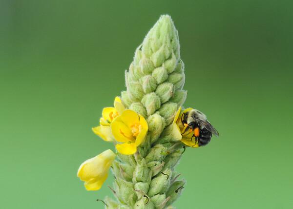 "<div class=""jaDesc""> <h4>Bumblebee on Mullein Stalk - July 8, 2015</h4> <p></p> </div>"