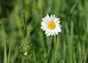 """<div class=""""jaDesc""""> <h4>Wild Daisy - June 4, 2014 </h4> <p>This Wild Daisy was glimmering in the morning sun next to the pond where Red-winged Blackbirds were guarding their nests.</p> </div>"""