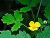 """<div class=""""jaDesc""""> <h4>Woodland Poppy - July 8, 2014</h4> <p> These wild Woodland Poppy plants spread easily and prefer shade.  This one was growing in my sister-in-law's shade garden.</p> </div>"""