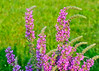 """<div class=""""jaDesc""""> <h4>Purple Loosestrife - July 31, 2014</h4> <p>Purple Loosestrife was originally imported from Europe and Asia.  It has beautiful flowers, but is extremely invasive.  We always cut any we see before they go to seed. </p> </div>"""