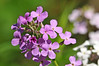 """<div class=""""jaDesc""""> <h4>Dame's Rocket - Dark Pink - June 4, 2014 </h4> <p>You will find these wild flowers blooming along woods edge and roads.</p> </div>"""