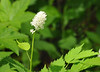 """<div class=""""jaDesc""""> <h4> Red Baneberry - May 26, 2014 </h4> <p>This delicate bloom will turn into little red berries. Photo taken at Shindagin Hollow State Forest.</p> </div>"""