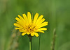 """<div class=""""jaDesc""""> <h4> Yellow Bloom - June 2, 2014 </h4> <p>I have not been able to figure out the name of this wild flower.  It has petals similar to a coreopsis.</p> </div>"""