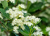 """<div class=""""jaDesc""""> <h4>Gray Dogwood Blooms - June 19, 2014 </h4> <p>Each one of these little Gray Dogwood blossoms will mature into a blue-gray berry that birds will feast on in the fall.  Migrating Yellow-rumped Warblers love them as do Cedar Waxwings and Robins.</p> </div>"""