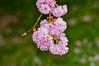 "<div class=""jaDesc""> <h4>Crabapple Blossoms - May 6, 2015</h4> <p>Lima Estates - Lima, PA</p> </div>"