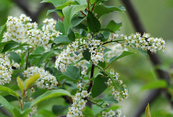 """<div class=""""jaDesc""""> <h4> Wild Black Cherry Blossoms - May 21, 2014 </h4> <p>I transplanted this wild cherry tree from the woods to our front yard as a little sapling.  It is now about 15 feet tall.  In about 6 weeks there will be clusters of small dark cherries that the birds love.</p> </div>"""