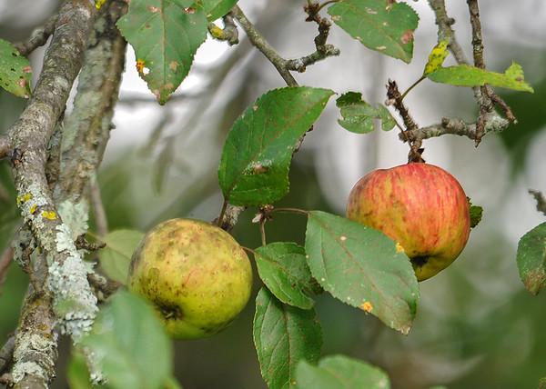 "<div class=""jaDesc""> <h4>Wild Apples Ripening - August 25, 2015 </h4> <p>Photo taken at Bement-Billings Homestead in Newark Valley, NY.</p> </div>"