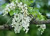 "<div class=""jaDesc""> <h4>Black Locust Tree in Bloom - May 30, 2015</h4> <p></p> </div>"