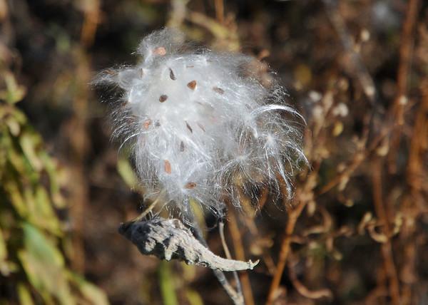 "<div class=""jaDesc""> <h4>Milkweed Pod Bursting - November 6, 2014</h4> <p></p> </div>"