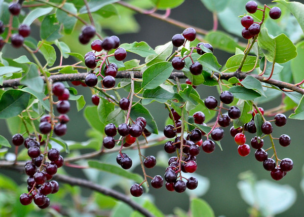 """<div class=""""jaDesc""""> <h4> Wild Cherries Getting Ripe - July 20, 2014 </h4> <p>The Wild Cherry tree in our front yard is loaded with ripening cherries.  The Blue Jays, Robins and Catbirds are already feasting on them.  A Chipmunk was out on a branch nibbling on one too.</p> </div>"""