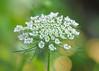 "<div class=""jaDesc""> <h4>Queen Anne's Lace - July 8, 2015</h4> <p></p> </div>"