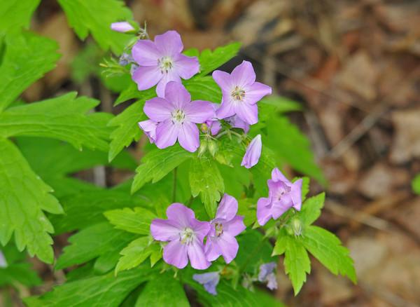 "<div class=""jaDesc""> <h4> Wild Geranium - May 26, 2014 </h4> <p>Photo taken at Shindagin Hollow State Forest.</p> </div>"