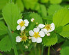 """<div class=""""jaDesc""""> <h4> Wild Strawberries - May 26, 2014 </h4> <p>There were lots of these blooming along the seasonal road in  Shindagin Hollow State Forest.</p> </div>"""