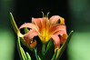 """<div class=""""jaDesc""""> <h4>Wild Orange Day Lily - July 8, 2014</h4> <p> I liked the way the afternoon sunlight was highlighting the color and textures of this wild Day Lily bloom.</p> </div>"""