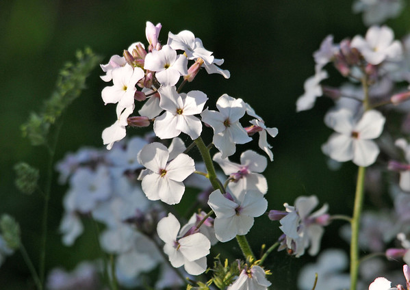 """<div class=""""jaDesc""""> <h4>Dame's Rocket - White - June 4, 2014 </h4> <p>Many people think this is Phlox, but Dame's Rocket has 4 petals.  An easy way to remember is that the blooms have the same number of petals as there are letters in the name.</p> </div>"""