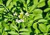 """<div class=""""jaDesc""""> <h4>Water Cress Blooming- June 5, 2014</h4> <p>Many of the ditches along the road have Water Cress growing in them.  This patch was in the ditch right under the Baltimore Oriole nest.  I'll have to transplant some to our water garden pond.</p> </div>"""