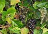 """<div class=""""jaDesc""""> <h4> Wild Grapes - September 2011 </h4> </div>"""