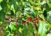 "<div class=""jaDesc""> <h4>Russian Olive Berries - October 10, 2014</h4> <p></p> </div>"