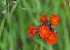 "<div class=""jaDesc""> <h4>Orange Hawkweed - June 10, 2015</h4> <p>Spring lawn and pasture ornaments.</p> </div>"