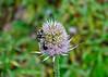 "<div class=""jaDesc""> <h4>Bumblebees on Teasel - October 10, 2014</h4> <p></p> </div>"