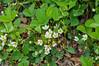 "<div class=""jaDesc""> <h4>Wild Strawberries in Bloom - May 15, 2015</h4> <p></p> </div>"