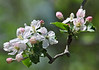 """<div class=""""jaDesc""""> <h4> Wild Apple Blossoms - May 14, 2014 </h4> <p>The apple trees at Bement-Billings Farmstead in Newark Valley are starting to bloom.  The aroma was very pleasing as I walked along the wooded trail.</p> </div>"""