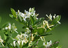 """<div class=""""jaDesc""""> <h4>Honeysuckle Bush in Bloom - June 1, 2014 </h4> <p>I was waiting in my blind for the Yellow Warbler to show up, but he never did.  So I took a photo of this Honeysuckle Bush while no bird action was happening.  Sometimes the Warblers land on these bushes, but not today.</p> </div>"""