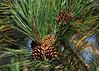 """<div class=""""jaDesc""""> <h4>Red Pine Cones - September 22, 2015 </h4> <p></p> </div>"""