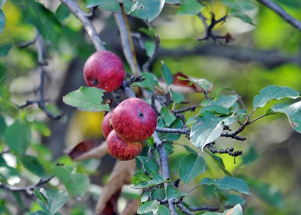 "<div class=""jaDesc""> <h4>Ripe Wild Apples - September 22, 2015 </h4> <p></p> </div>"