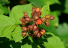 """<div class=""""jaDesc""""> <h4>Wild Raspberry - July 6, 2014 </h4> <p>A few of the Raspberries in this cluster had burst open to start ripening.  There were several large Wild Raspberry plants growing around an old abandoned house.</p> </div>"""