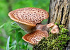 """<div class=""""jaDesc""""> <h4> Shelf Mushroom Family  - May 14, 2014 </h4> <p>This group of shelf mushrooms caught my eye as I was birding along a wooded trail.  Morning dew drops sparkled underneath.</p> </div>"""