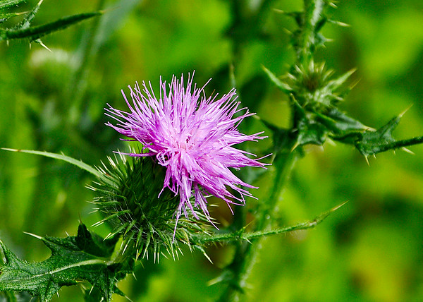 """<div class=""""jaDesc""""> <h4>Thistle Blooming - August 21, 2014</h4> <p></p> </div>"""