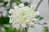 """<div class=""""jaDesc""""> <h4>Queen Anne's Lace - July 31, 2014</h4> <p>This wildflower pops up in many places in our backyard.  I am always intrigued by the delicate lace pattern. </p> </div>"""