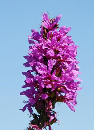 "<div class=""jaDesc""> <h4> Purple Loostripe - August - 2010 </h4> </div>"