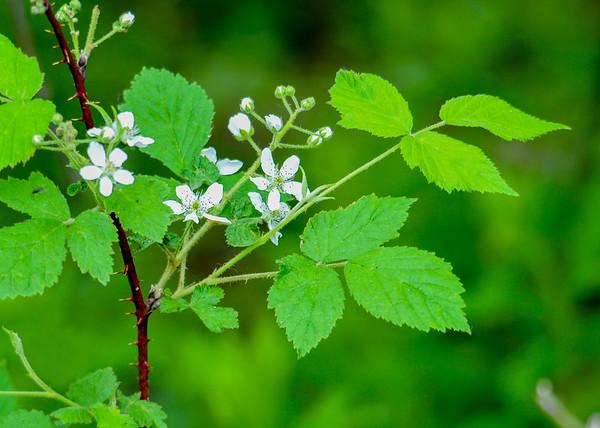 "<div class=""jaDesc""> <h4>Wild Blackberry in Bloom - May 30, 2015</h4> <p></p> </div>"