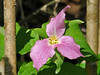 """<div class=""""jaDesc""""> <h4> Pink Trillium - May 20, 2014 </h4> <p>Photographed in Shindagin Hollow State Forest, NY.</p> </div>"""