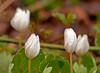 """<div class=""""jaDesc""""> <h4> Bloodroot  in Rain - April 2011</h4> </div>"""