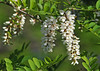 """<div class=""""jaDesc""""> <h4>Black Locust Tree in Bloom - June 5, 2014 </h4> <p>There are two large groves of Black Locust trees up the road from our house.  The birds have spread the locust seeds, so there are young trees growing in the fields along the roads.  This one was about 15 feet tall and full of blooms.</p> </div>"""