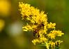 "<div class=""jaDesc""> <h4>Honey Bee on Golden Rod - September 15, 2014</h4> <p></p> </div>"