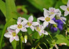 """<div class=""""jaDesc""""> <h4> Spring Beauties in Bloom - May 14, 2014 </h4> <p>These beautiful little flowers were popping up at several places along a wooded trail at the Bement-Billings Farmstead in Newark Valley, NY.</p> </div>"""