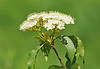 """<div class=""""jaDesc""""> <h4>Wild Viburnum in Bloom - June 1, 2014 </h4> <p> There are quite a few Wild Viburnum bushes in bloom along the woods edge.  Seems like every year beetles decimate the leaves, but they manage to survive.</p> </div>"""