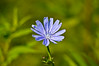 """<div class=""""jaDesc""""> <h4> Chicory - July 20, 2014 </h4> <p>Chicory is a very common wild flower seen growing along many country roads.  It is a very hardy plant that will thrive in the hard packed dirt on the shoulder of the road.</p> </div>"""